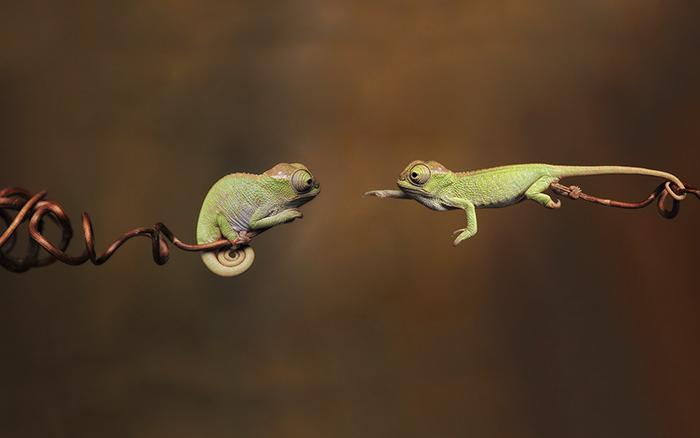chameleon pic